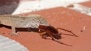 Können Kakerlaken Fliegen : amerikanische schabe aus den tropen nach europa emigriert ~ Watch28wear.com Haus und Dekorationen