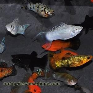 Poisson Aquarium Eau Chaude : molly vari s 3 4cm lot de 5 poissons eau chaude mollys ~ Mglfilm.com Idées de Décoration