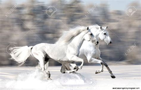 running andalusian horses horse gallop fast run winter