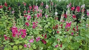 Welche Pflanzen Passen Zu Rosen : stockrosen vermehren so gelingt 39 s ~ Lizthompson.info Haus und Dekorationen