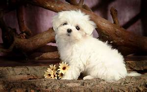 Cute little maltese dog wallpaper