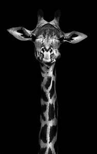 Giraffe Wallpaper Black And White