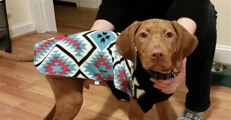nevil shed of fame vizsla shedding puppy coat 28 images vizsla breed