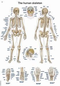 Chart  U0026quot The Human Skeleton U0026quot   50x70cm