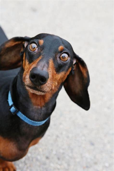 image result  surprised weiner dog face surprised dog