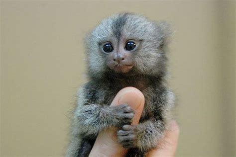 Mini Monkey.