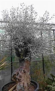 Olivenbaum Pflege Im Topf : olivenbaum ~ Buech-reservation.com Haus und Dekorationen