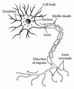 Structure Of Biological Neuron