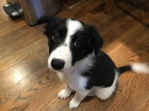 Puppy Training Tips Help a 3 Month Old Border Collie Learn ...