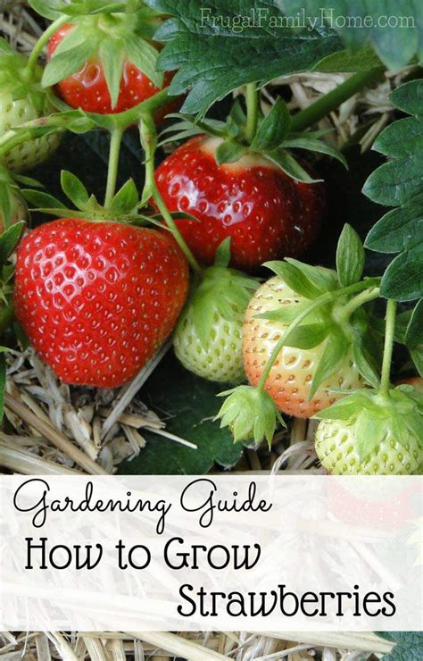how to grow strawberries gardening guide how to grow sweet strawberries