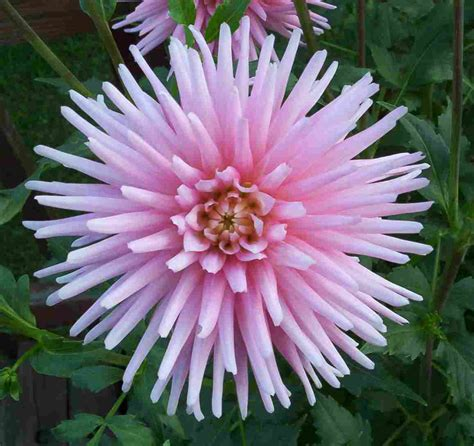 dahlia pic dahlias old house new garden