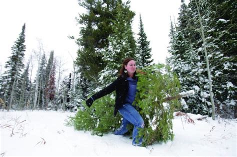 piper mountain christmas tree farm for sale tree permits go on sale for sawtooth national forest southern idaho local news