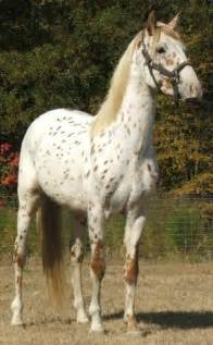 Spanish Tiger Horse