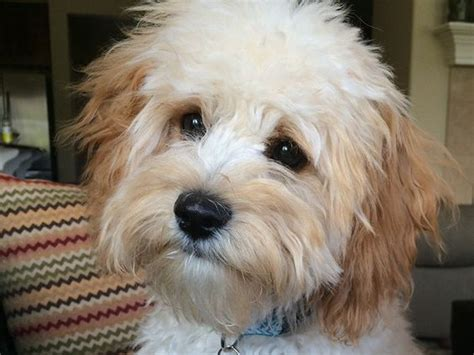 Cavapoos Do They Shed by Cavapoo Cavapoos