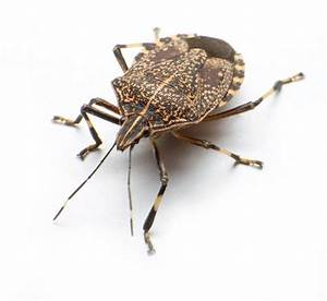what do stink bugs look like bed bug odor 3 With bed bug smell