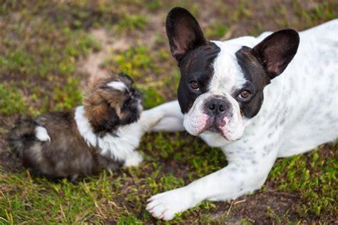 Razze Di Cani Da Appartamento by Le Migliori Razze Di Cani Da Appartamento Evicus