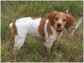French Brittany Spaniel Shedding by French Brittany Facts Pictures Puppies Rescue