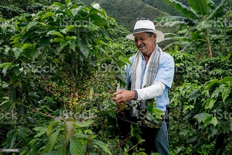 You can download in.ai,.eps,.cdr,.svg,.png formats. Farmer Harvesting A Coffee Crop Stock Photo - Download Image Now - iStock