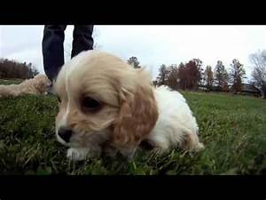 Cavapoo puppies for sale columbus ohio cleveland for Dog kennels for sale in ohio