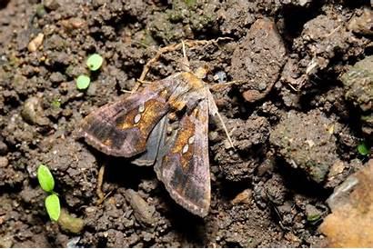 Chalcites Chrysodeixis 1789 Plusie Esper Retour Noctuidae