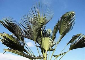 Pflanztopf Für Palmen : palmen f r mediterrane terrassen ~ Lizthompson.info Haus und Dekorationen