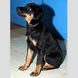 Brown Doberman Dog | 439 x 600 jpeg 40kB