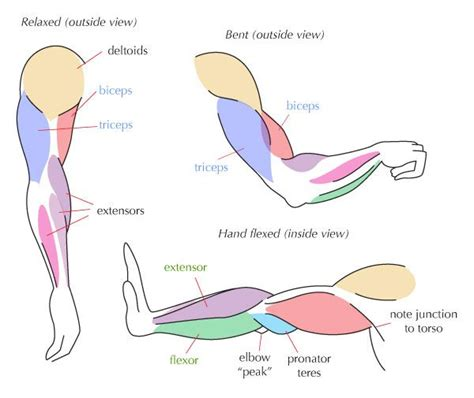 We all have the same main leg muscles: Pin on Anatomy and Life Drawing Tutorials