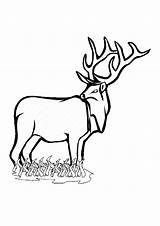 Deer Coloring Pages Enjoyable Leisure Totally Activity Clipartmag sketch template