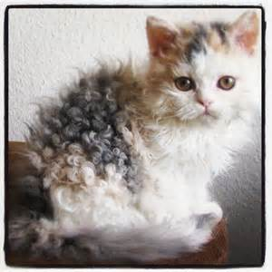 hair cats cat curly hair kitten my