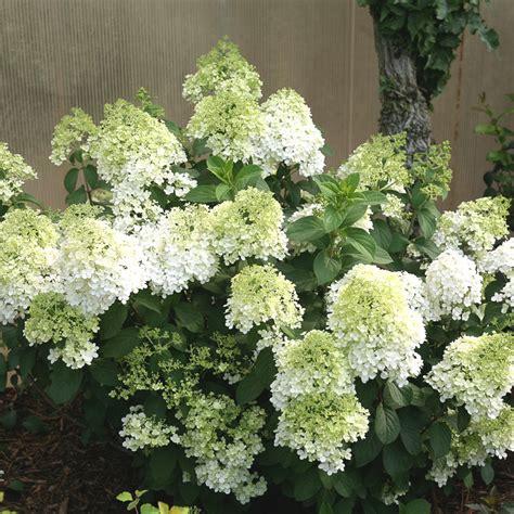 plant list hydrangea bobo