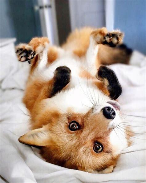Juniper the Fox, Instagram Star   Domino