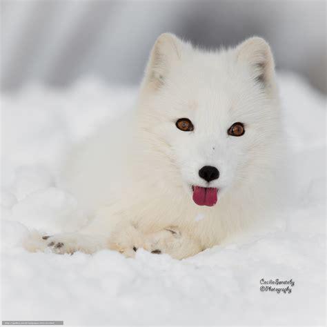 tlcharger fond d 39 ecran le renard arctique blanc renards