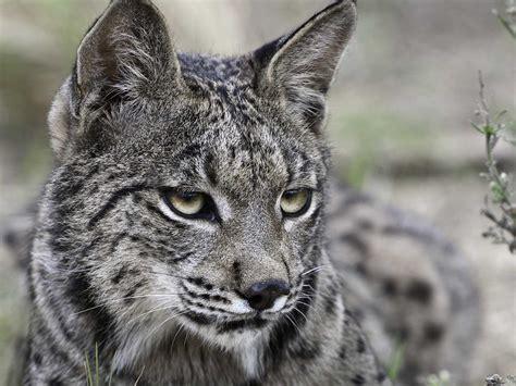 lynx iberian extinct cat lince go endangered iberico most del el para