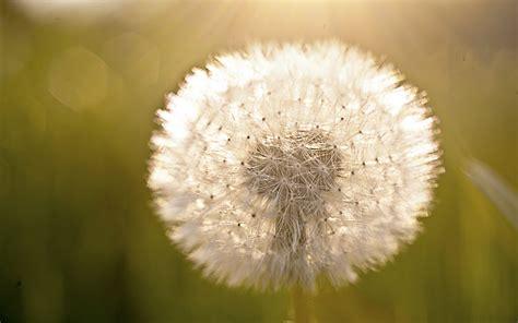 dandelion light  fuzzy widescreen wallpaper wide