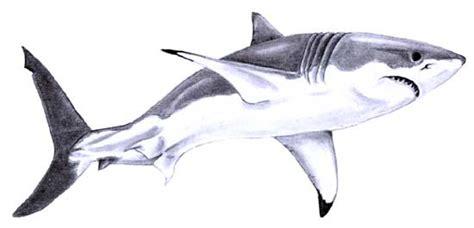 great white shark sketch great white shark sketch