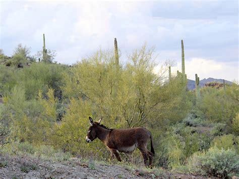 wild burro hiking trail lake pleasant az pretty coves