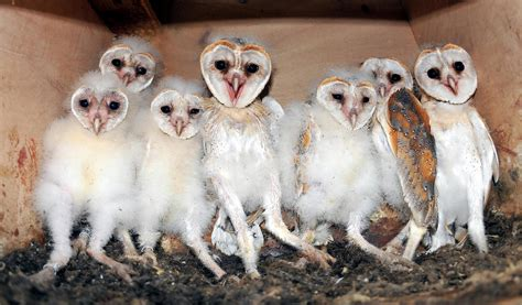 wildwatchcams owls the barn owlcam story washington