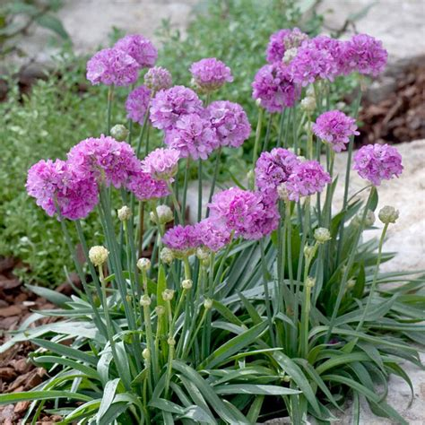 armeria ballerina purple rose perennials