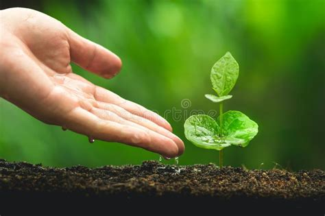 Coffee comes in several varieties, arabica and robusta are the two main categories but it makes little difference from our point of view. Hand Planting Tree Care Coffee Tree In The Natural Background Stock Image - Image of life ...