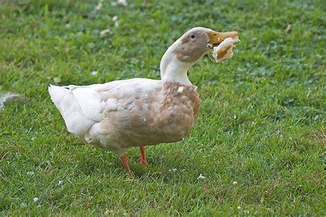 is bread for ducks ducks love bread a gallery on flickr