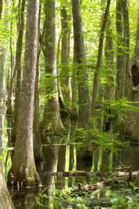 Cypress Swamp Natchez Trace Mississippi