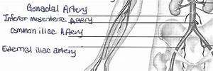 Exercise 21 Anatomy Of Blood Vessels