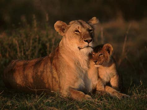 desktop wallpaper lioness  cub