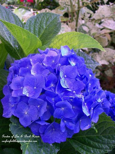 hydrangea flower care best 25 care of hydrangeas ideas on pinterest hydrangea care caring for hydrangeas and