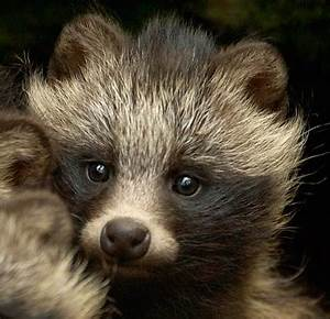 Raccoon Dog Facts, History, Useful Information and Amazing ...