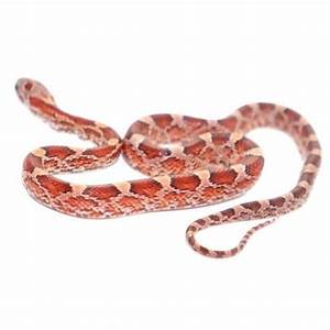 Blood Red Corn Snakes – Big Apple Pet Supply