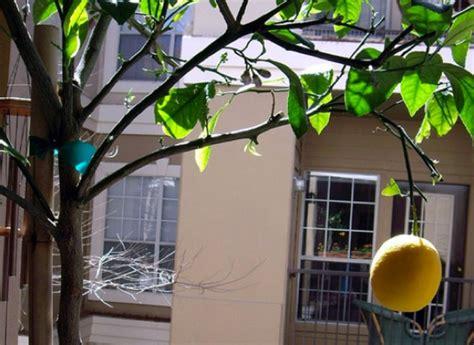 oranger et citronnier en pot c est possible