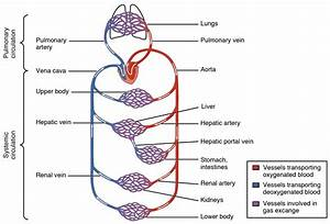 Draw The Flow Chart Of Blood Circulation In Human Body