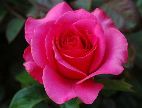 Most Beautiful Rose Flowers Wallpapers Wallpapersafari