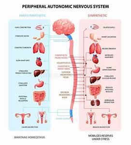 Autonomic Nervous System Stock Illustrations  U2013 65